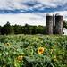 Sunflowers and Silos, Lincoln, RI, 2020