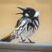 New Holland Honeyeater: Are you Feelin' Lucky?