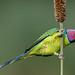 A Wide Eyed Plum Headed Parakeet