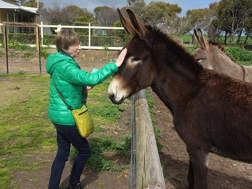 Weetulta Yorke Peninsula. Donkeys at Redwing Farm.