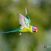 A Plum Headed Parakeet Taking Off