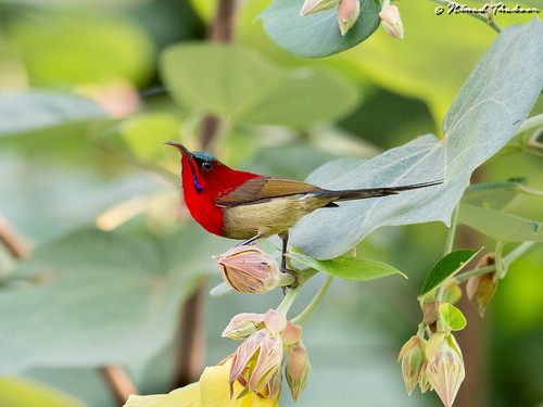 "Crimson Sunbird • <a style=""font-size:0.8em;"" href=""http://www.flickr.com/photos/59465790@N04/50285631218/"" target=""_blank"">View on Flickr</a>"
