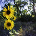 Sunflowers In the Bosque 11