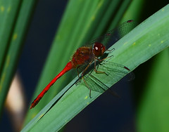 Red Dragonfly-2 2020