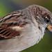 Parga Sparrow 3