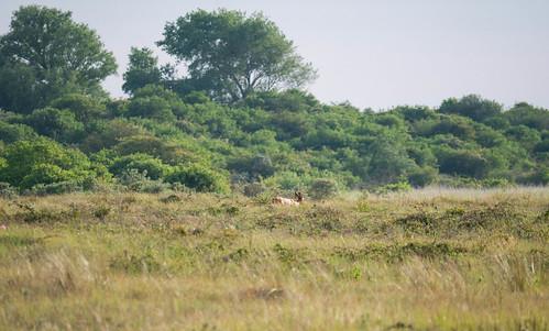The Dutch antilopes