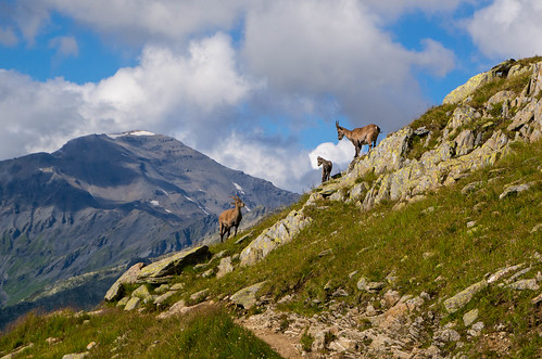Alpine Ibex family
