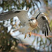 Black-shouldered Kite: Masterful Aerial Movements