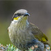 Singing Honeyeater: Portrait