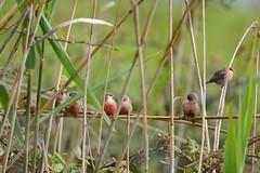 HNS_2771 Sint Helena-fazantje : Senegali bec de corail : Estrilda astrild : Wellenastrild : Common Waxbill