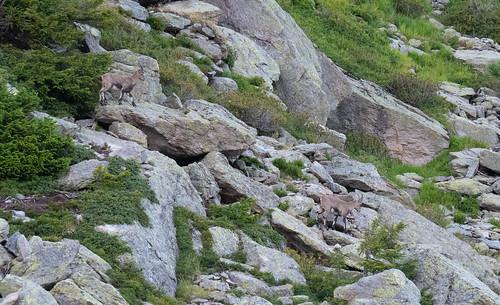 Ibex are plenty here