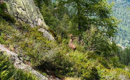 Big male Ibex