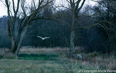 Barn Owl at Dusk near Minsmere