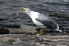 hns_0766-geelpootmeeuw-goeland-leucophee-larus-michahellis-mittelmeermowe-yellow-legged-gull