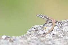 hns_0843-madeirahagedisteira-dugesii-teira-dugesii-madeira-eidechse-madeiran-wall-lizard
