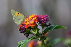 hns_1134-oranje-luzernevlinder-man-colias-croceus-souci-gelbes-posthocc88rnchen-clouded-yellow