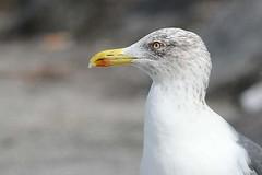 hns_0820-geelpootmeeuw-goeland-leucophee-larus-michahellis-mittelmeermowe-yellow-legged-gull
