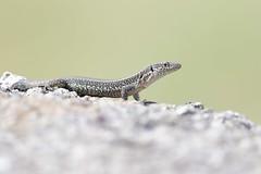 hns_0850-madeirahagedisteira-dugesii-teira-dugesii-madeira-eidechse-madeiran-wall-lizard