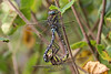Mating Common Hawkers