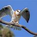 Black-shouldered Kite: Folding Up the Sails