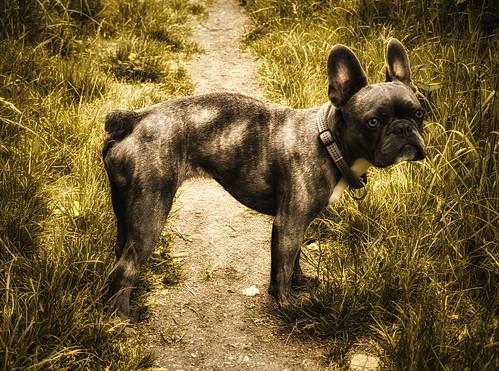 BLUE - little French Bulldog
