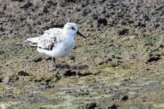 hns_1107-drieteenstrandloper-becasseau-sanderling-calidris-alba-sanderling-sanderling