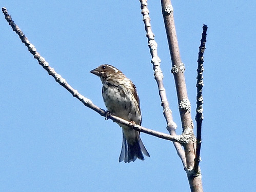 Purple Finch - Whiting Road Nature Preserve - © Candace Giles - Aug 24, 2020
