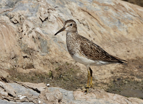 Pectoral Sandpiper - Braddock Bay East Spit - © Candace Giles - Aug 25, 2020