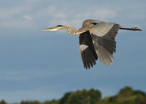 Great Blue Heron - Braddock Bay East Spit - © Alan Bloom - Sep 01, 2020