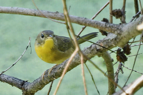 Common Yellowthroat (F) - Whiting Road Nature Preserve - © Candace Giles - Aug 24, 2020