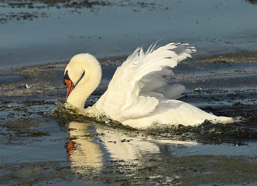 Mute Swan - Braddock Bay East Spit - © Alan Bloom - Sep 01, 2020