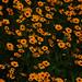 Spring flowers_Ascanio_TX-USA?DZ3A3112