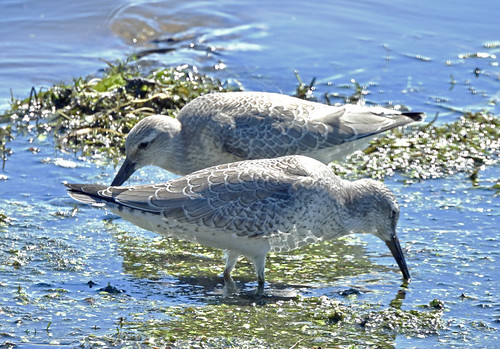 Red Knot - Braddock Bay East Spit - © Candace Giles - Aug 25, 2020