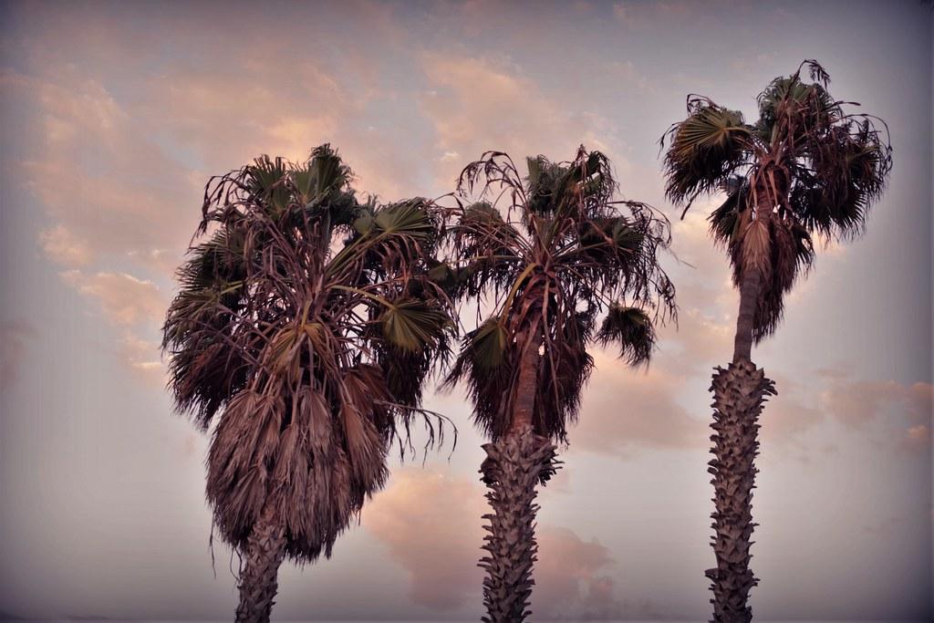 Wavering Palm Trees, pre-sunset