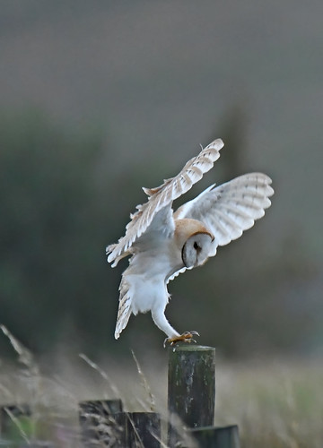 Barn Owl Landing On A Fence Post A Photo On Flickriver