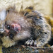 Cute marmoset baby in a funny position