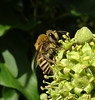 Colletes hederae (Ivy bee)