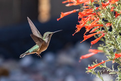 September 5, 2020 - A hummingbird gets a snack in Thornton. (Tony's Takes)