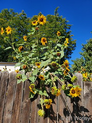 September 2, 2020 - Sunflowers grow over a fence. (LE Worley)