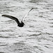 White-winged Tern: Against the Grey