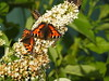 Butterflies - Lancashire  DSCN8139