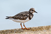Turnstone on sea wall.