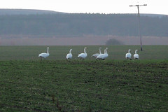 Photo of Whooper Swans in winter at the back of my parents house.
