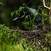 Little Blue Heron_Egretta caerulea_Ascanio_TX_DZ3A4071