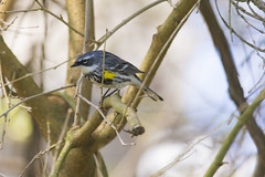 "Yellow-Rumped Warbler • <a style=""font-size:0.8em;"" href=""http://www.flickr.com/photos/29084014@N02/50327000686/"" target=""_blank"">View on Flickr</a>"