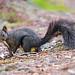Black squirrel posing