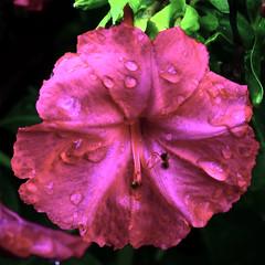 Flor oberta amb gotes