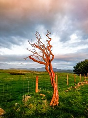 Photo of Tallentire_hill_dead_tree_4293
