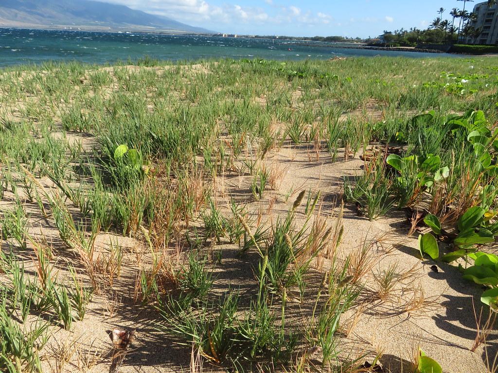 starr-200429-7659-Sporobolus_virginicus-patch_near_beach-Waipuilani_Kihei-Maui