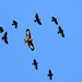 Buzzard being mobbed